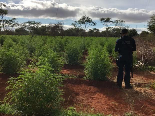 Roça de maconha é achada pela polícia na zona rural de Flores